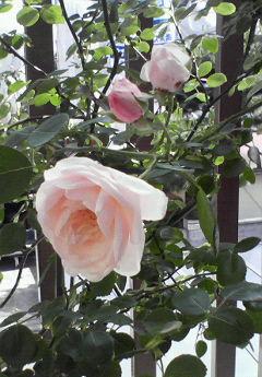 薔薇咲く地鎮祭